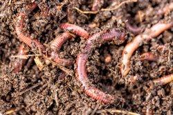 Earthworm live bait for fishing