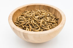 Edible mealworms isolated