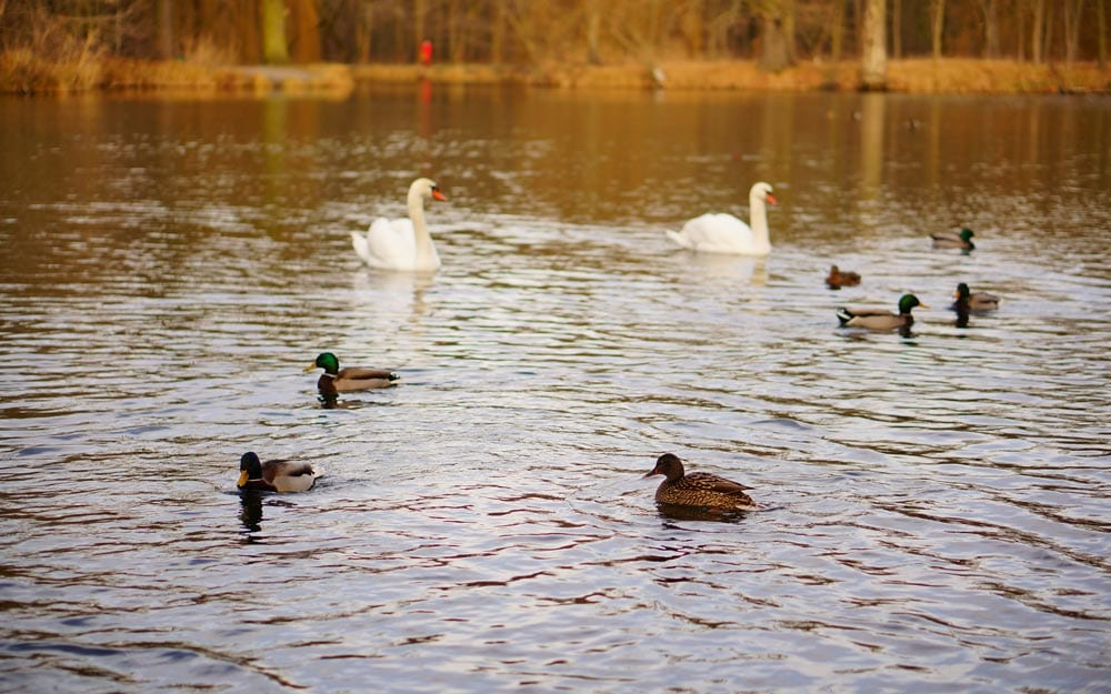 High angle shot of ducks and swans swimming in the lake